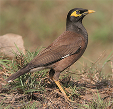 Common Myna Clement Franci 225w
